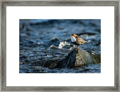 Dipper On The Rock Framed Print by Torbjorn Swenelius