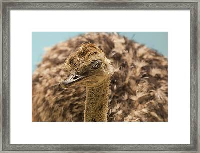 Disapproving Ostrich Framed Print by Alex Lapidus