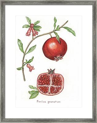 Dissection Of A Pomegranate Framed Print