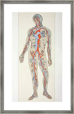 Distribution Of Blood Vessels In The Framed Print