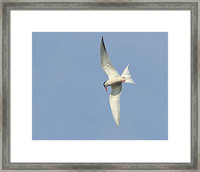 Framed Print featuring the photograph Dive by Tony Beck