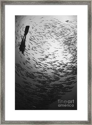 Diver And A Large School Of Bigeye Framed Print by Steve Jones
