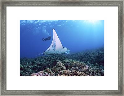 Diver And Ray Framed Print by Dave Fleetham - Printscapes