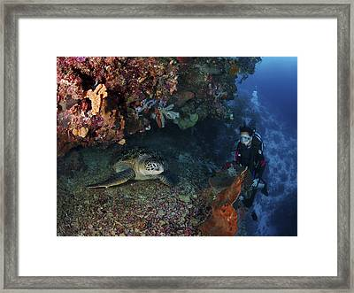 Diver And Sea Turtle, Manado, North Framed Print by Mathieu Meur