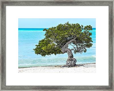 Divi-divi Aruba Framed Print
