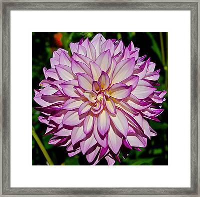 Divine Dahlia Blessings  Framed Print