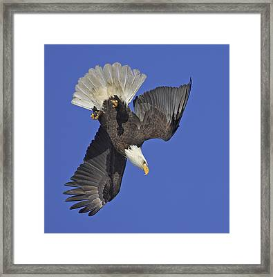 Diving Eagle Framed Print by Tim Grams