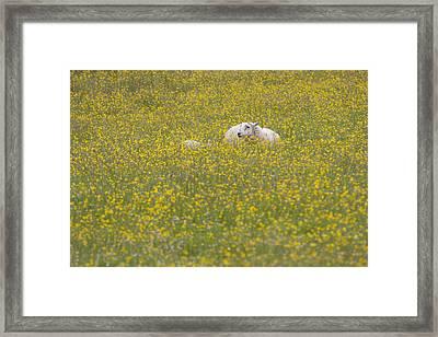Do Ewe Like Buttercups? Framed Print