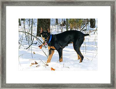 Doberman Framed Print by Melissa  Riggs