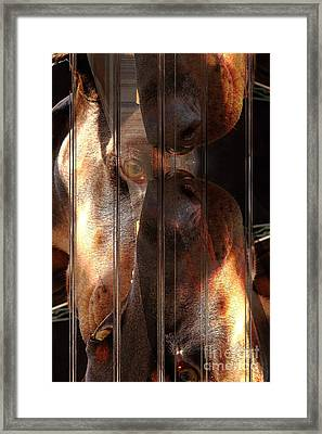 Doberman Pincher Framed Print