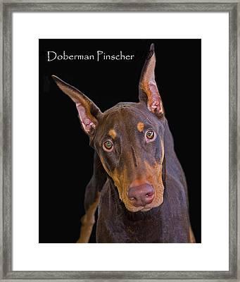 Doberman Pinscher Framed Print