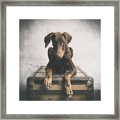 Doberman Pinscher Puppy 3 Framed Print by Wolf Shadow  Photography