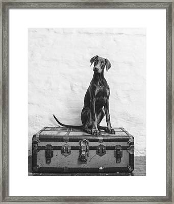 Doberman Pinscher Puppy In Black And White Framed Print by Wolf Shadow  Photography