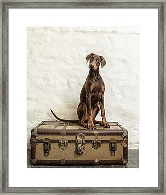 Doberman Pinscher Puppy Framed Print by Wolf Shadow  Photography