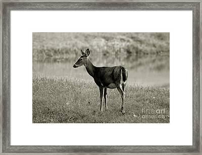 Doe By The Waters Edge Framed Print