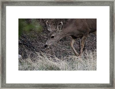 Doe Carefully Grazing In Tombstone Framed Print by Colleen Cornelius