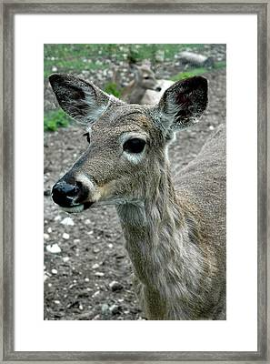 Framed Print featuring the photograph Doe Eyes by LeeAnn McLaneGoetz McLaneGoetzStudioLLCcom