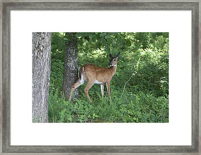 Doe In The Forest Framed Print by Tina B Hamilton