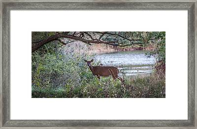 Framed Print featuring the photograph Doe Under Arching Branches by Chris Bordeleau