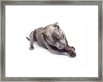 Dog Eating Chew Toy Framed Print