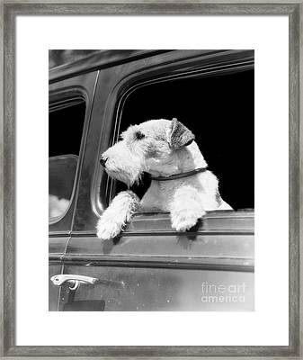 Dog Looking Out Of Car Window Framed Print by H. Armstrong Roberts/ClassicStock