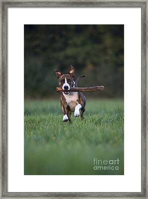 Dog Playing With Stick Framed Print