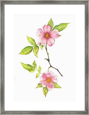 Dog Rose Watercolor Framed Print