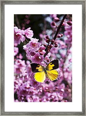 Dogface Butterfly In Plum Tree Framed Print by Garry Gay