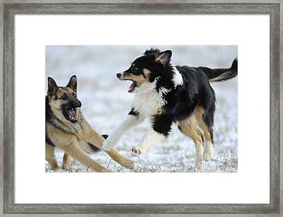 Dogs Playing In Snow Framed Print by David & Micha Sheldon
