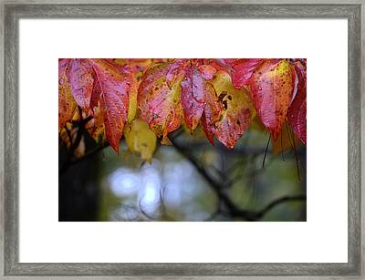 Dogwood 1 Framed Print