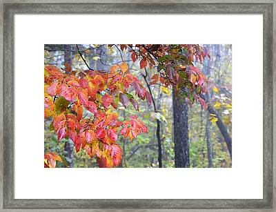 Dogwood 2 Framed Print
