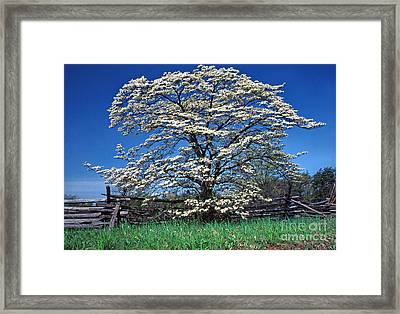 Dogwood And Rail Fence Framed Print by Thomas R Fletcher