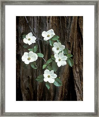 Dogwood And Redwod Framed Print