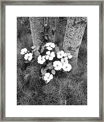 Dogwood And Tree Framed Print