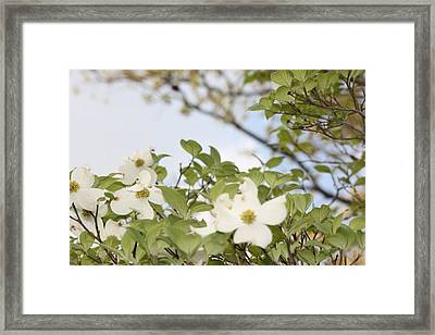 Dogwood Framed Print by Angie  Wise