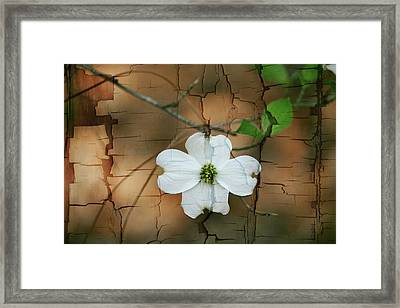 Dogwood Bloom Framed Print by Cathy Harper