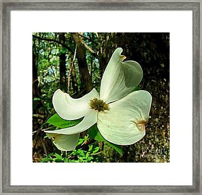 Dogwood Blossom II Framed Print by Julie Dant