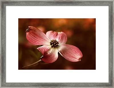 Dogwood Blossom Framed Print by Jessica Jenney