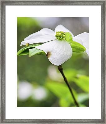 Dogwood Blossom Standing Framed Print