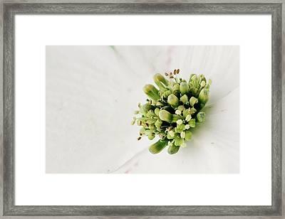 Dogwood Blossom Framed Print