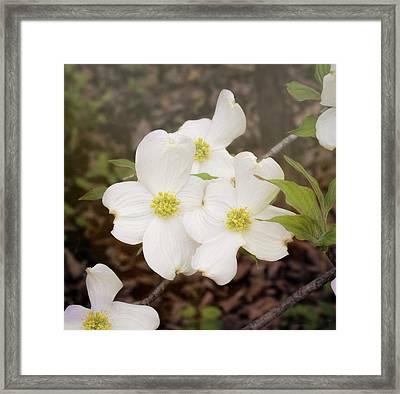 Dogwood Blossom Trio Framed Print by Bellesouth Studio