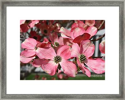 Dogwood Blossoms Framed Print by Carol Groenen