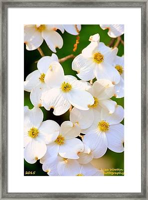 Dogwood Blossoms Framed Print by Lisa Wooten