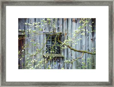 Dogwood Blossoms- Rejuvination  Framed Print by Thomas Schoeller