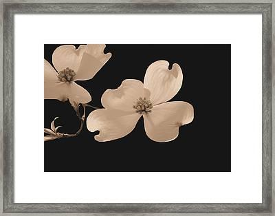 Dogwood Blossoms Sepia Framed Print by Kristin Elmquist