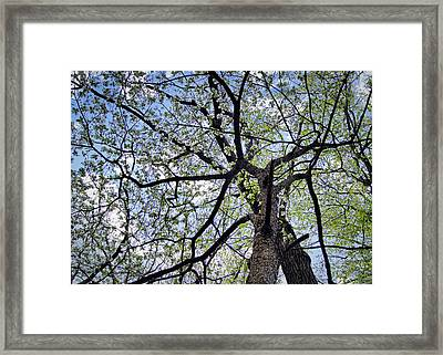 Dogwood Canopy Framed Print by Cricket Hackmann