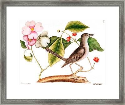 Dogwood  Cornus Florida, And Mocking Bird  Framed Print by Mark Catesby