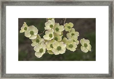 Dogwood Dance In White Framed Print