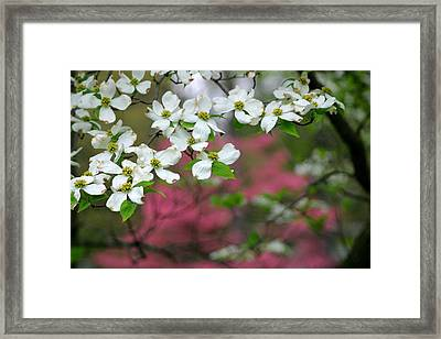 Dogwood Days Framed Print