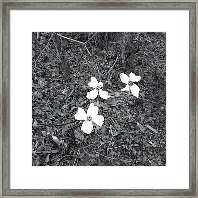 Dogwood Flower Framed Print by Raven Moon
